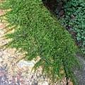(青蘚科)羽枝青蘚--莖蔓生,匍匐生長,不規則分枝至羽狀分枝。