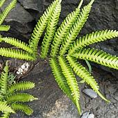 (鳳尾蕨科)傅氏鳳尾蕨  低海拔地區森林底層及海邊常見