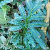 (卷柏科)翠雲草又稱藍地柏,因葉面泛藍光,故有藍地柏之稱。