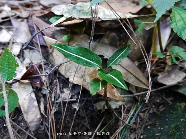 (蘭科)白肋角唇蘭,白肋角唇蘭與鳥嘴蓮外觀長得很像,葉片中心都會有一條白線,  一般來說,白肋角唇蘭葉表較為翠綠,鳥嘴蓮是墨綠。花也有所不同。乍看很容易搞混。
