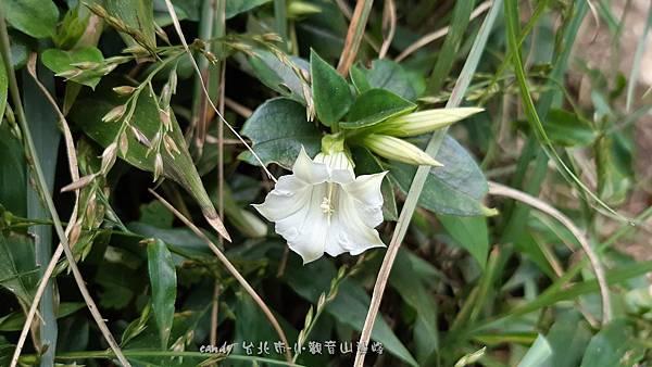 (龍膽科)台北肺形草-花萼萼片較短