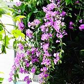 (紫葳科)蒜香藤