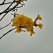 (紫葳科)黃花風鈴木