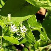 (石竹科)繁縷 ㄈㄢˊ ㄌㄩˇ,繁縷在外表上跟鵝兒腸近似。 繁縷葉形較小、較圓,基部鈍或圓;鵝兒腸葉基部近心形。 繁縷與鵝兒腸最大差異在花柱與雄蕊數-花柱3,雄蕊3-5。 鵝兒腸-花柱5,雄蕊7-10。