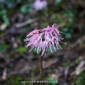 (百合科)台灣胡麻花