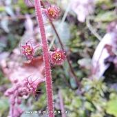 (虎耳草科)台灣嗩吶草