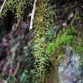 (松蘿科、地衣體)松蘿屬枝狀地衣:植物直立或下垂如絲,多數片段有分枝。