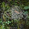 (松蘿科)松蘿屬枝狀地衣體植物