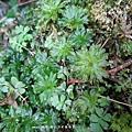 (真苔科)暖地大葉苔