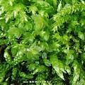 葫蘆苔科(Funariaceae)的立碗苔屬(Physcomitrium)植物