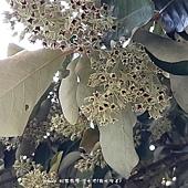 (梧桐科)銀葉樹