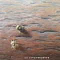 (盲椿科)盲椿象若蟲