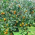 藏酒金棗園區裡的金棗樹.jpg