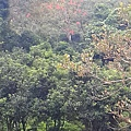 酒莊中的台灣欒樹