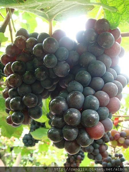 彰化二林黑后葡萄到藏酒酒莊