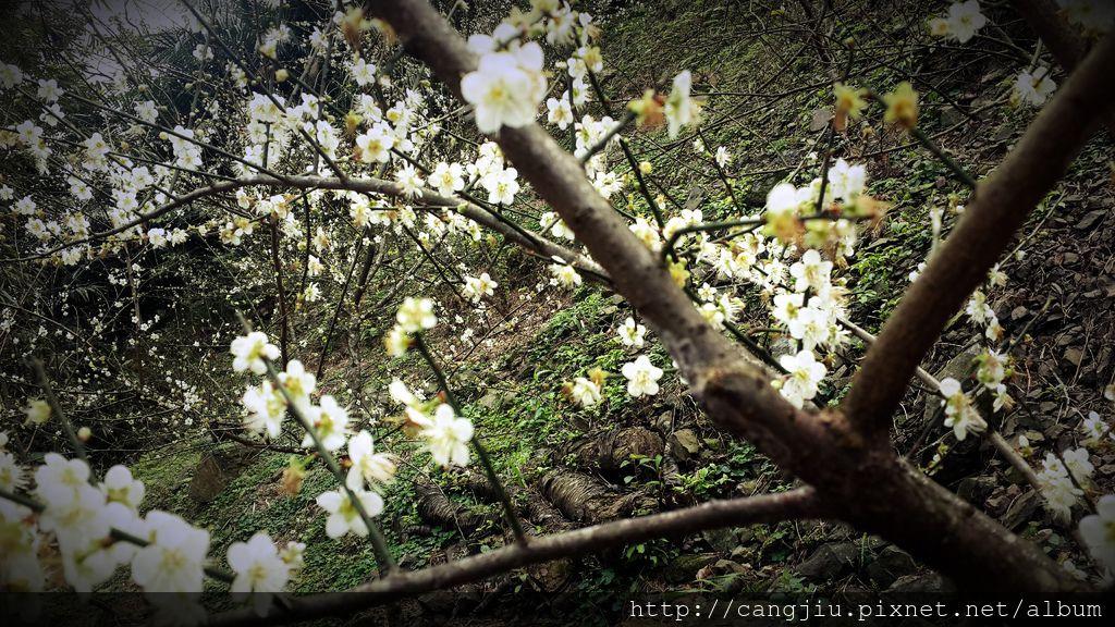 藏酒私密景點-梅花園 (1).jpg