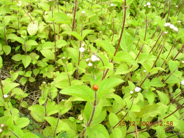 小花叢中的小瓢蟲
