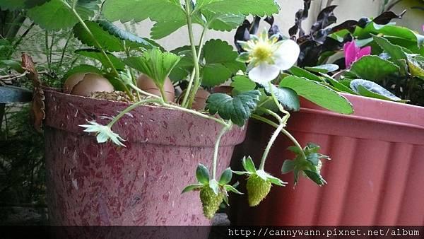 自己種的草莓收成了 (1).JPG