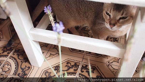 貓咪和薰衣草.JPG
