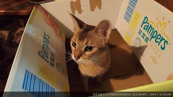 躲在箱子裡的貓咪.JPG