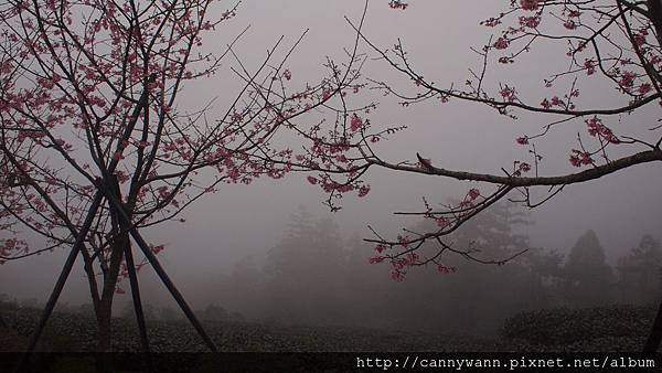 鹿谷鳳凰茶園 (1)