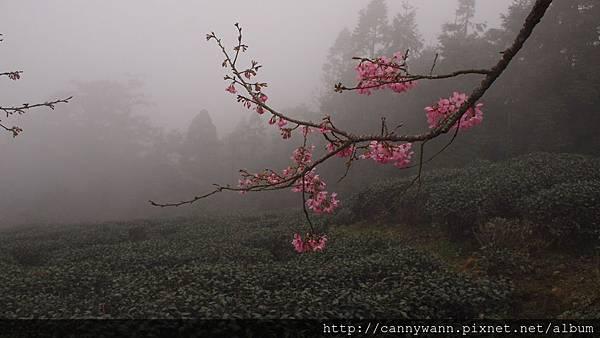 鹿谷鳳凰茶園 (3)