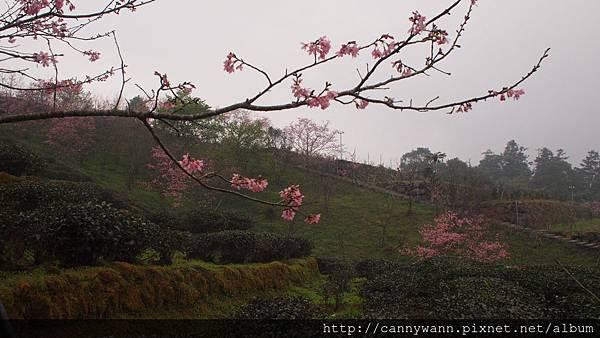 鹿谷鳳凰茶園 (22)