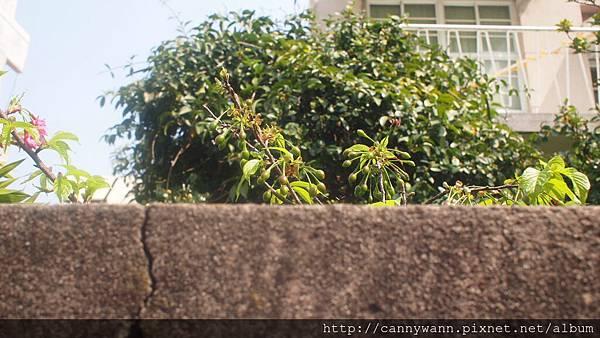 矮牆內的櫻花 (1)