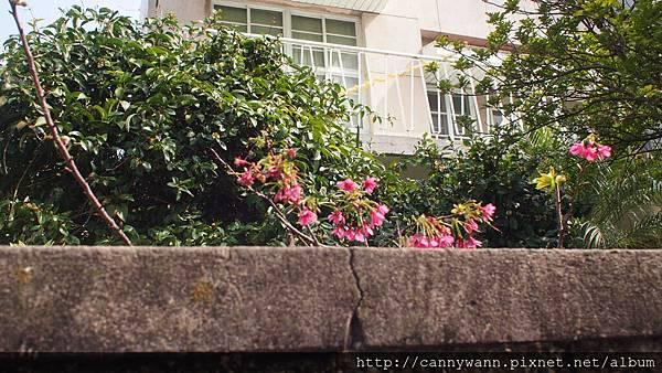 矮牆內的櫻花