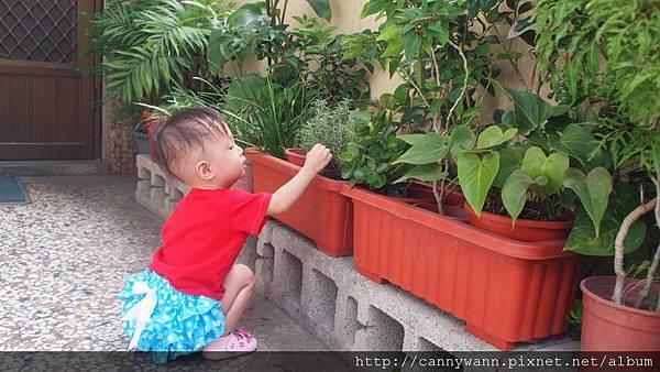 雪莉愛香草植物 (5)