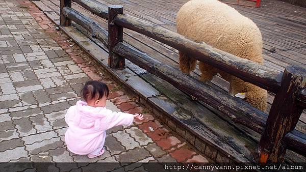 帶雪莉去清境看羊咩咩 (34)