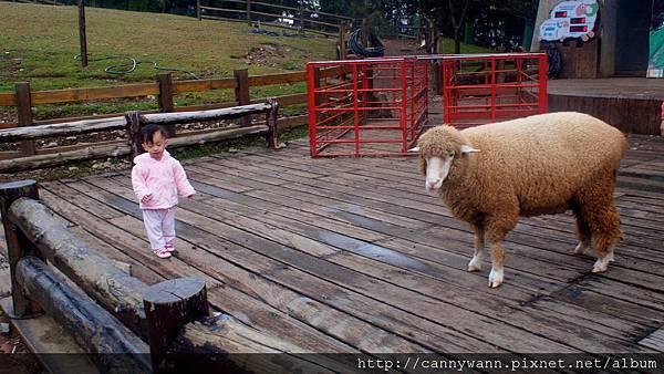 帶雪莉去清境看羊咩咩 (33)