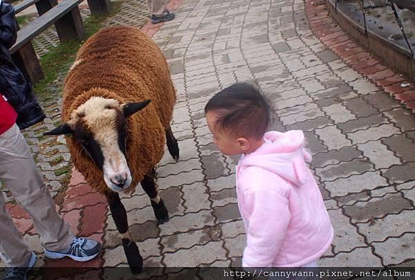 帶雪莉去清境看羊咩咩 (31)