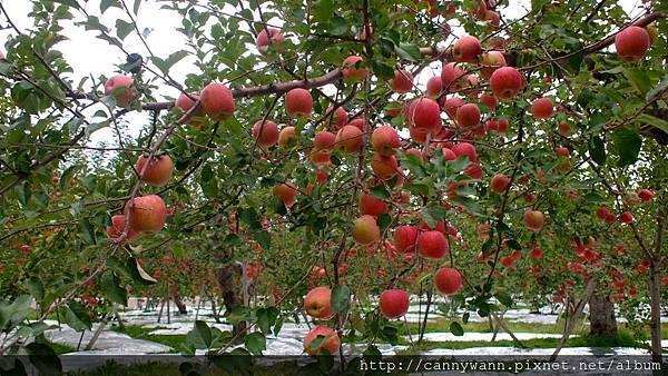 青森~南蘋果 (3)