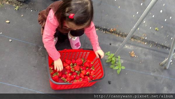 大湖採草莓 (7)