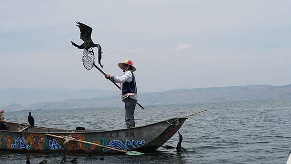 大理洱海魚鷹捕魚 (5)