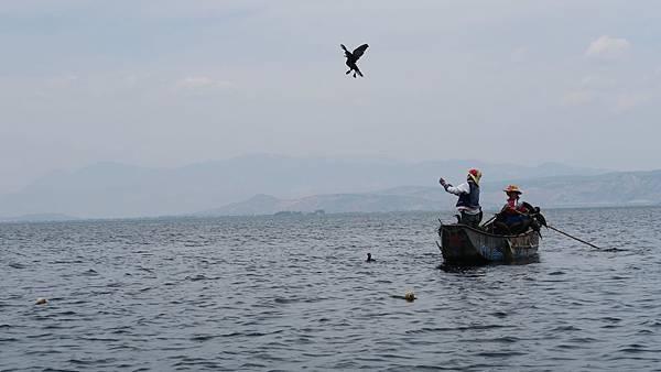 大理洱海魚鷹捕魚 (3)