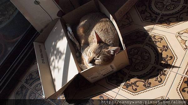 春天陽光午後的貓咪~酣睡的阿比西尼亞