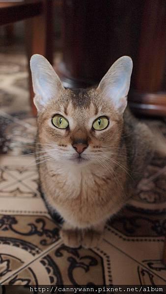 像畫了眼線一樣的~阿比西尼亞貓