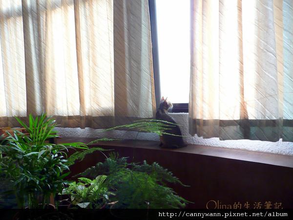 窗台上的貓和薰衣草 (1).jpg
