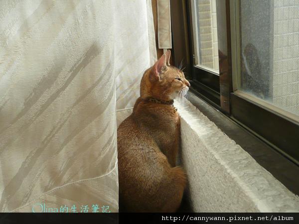 窗台上的貓和薰衣草 (5).jpg