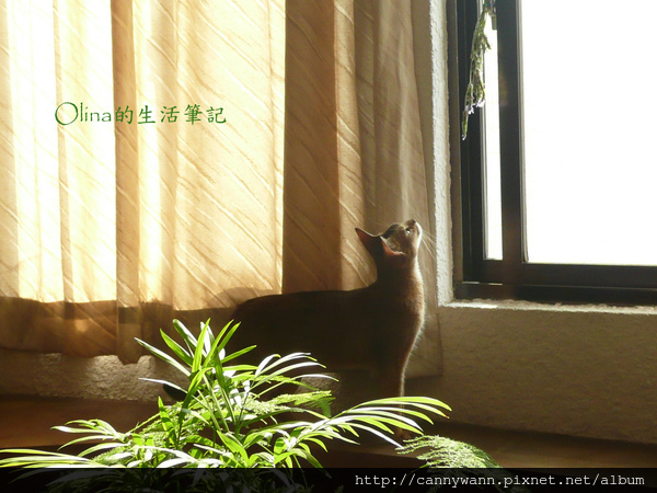 窗台上的貓和薰衣草 (7).jpg