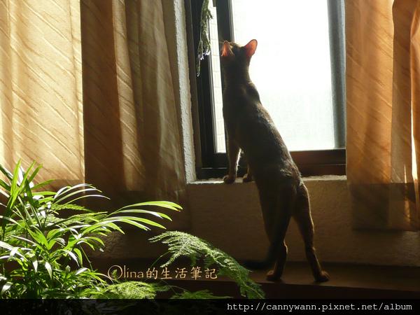 窗台上的貓和薰衣草 (8).jpg
