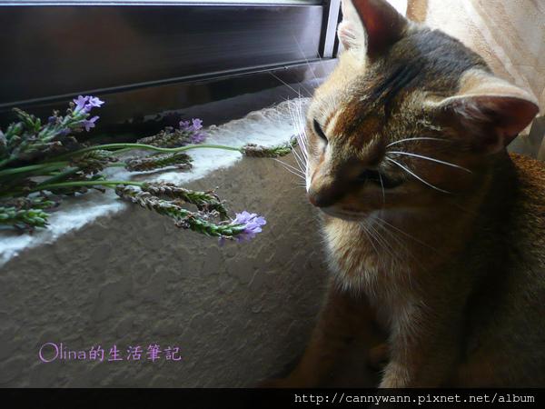 窗台上的貓和薰衣草 (9).jpg