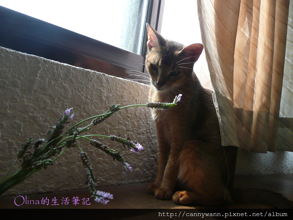 窗台上的貓和薰衣草 (11).jpg