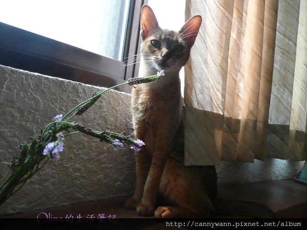 窗台上的貓和薰衣草 (12).jpg