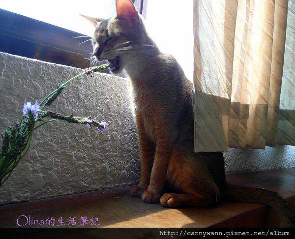 窗台上的貓和薰衣草 (13).jpg