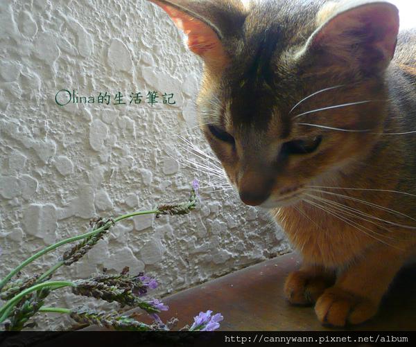 窗台上的貓和薰衣草 (14).jpg