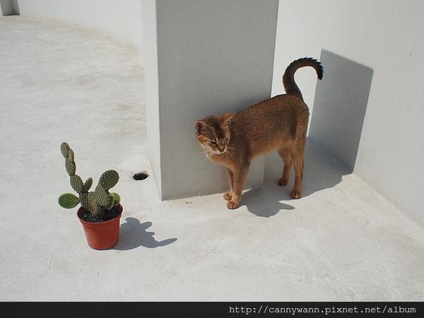 貓咪和仙人掌