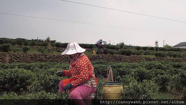 鹿谷採春茶